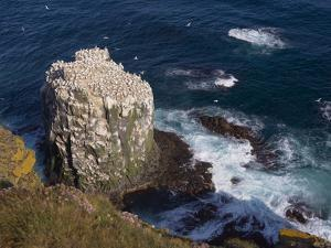 Gannet Colony (Sula Bassana) at Langanes, Langanes Peninsula, North Iceland (Nordurland), Iceland by Patrick Dieudonne