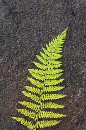 Canada, Nova Scotia, Cape Breton, fern by Patrick J. Wall
