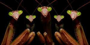 Praying Mantis: Family Portrait by Patrick Zephyr