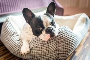 Adorable French Bulldog on the Lair by Patryk Kosmider