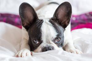 Adorable French Bulldog Puppy Lying in Bed by Patryk Kosmider