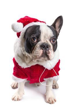 French Bulldog in Santa Costume for Christmas over White by Patryk Kosmider