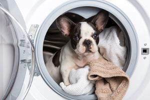 French Bulldog Puppy inside the Washing Machine by Patryk Kosmider