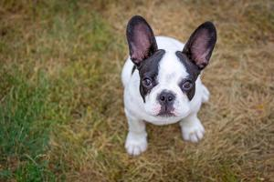 French Bulldog Puppy on the Grass by Patryk Kosmider