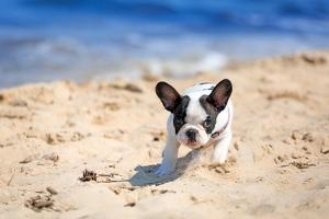 French Bulldog Puppy Running On The Beach by Patryk Kosmider