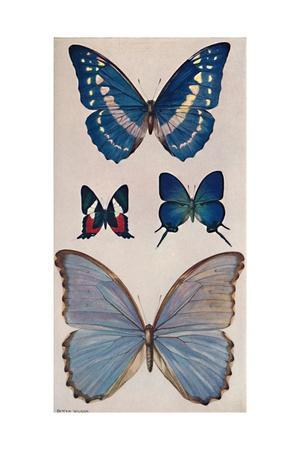 'Some of Rio's Butterflies', 1914
