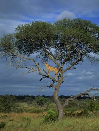 Cheetah in a Tree, Kruger National Park, South Africa, Africa by Paul Allen