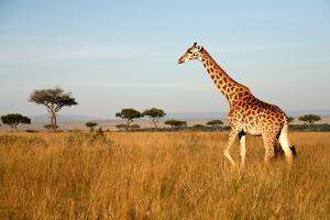 Giraffe Walking through the Grasslands (Masai Mara; Kenya) by Paul Banton