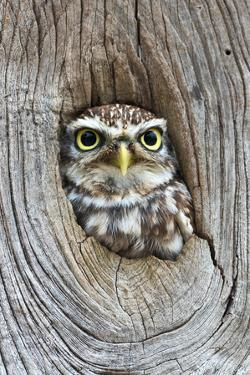 Head Shot of Little Owl Looking Through Knot Hole. Taken at Barn Owl Centre of Gloucestershire by Paul Bradley