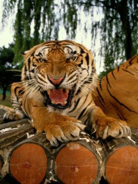 A Captive Tiger Snarls at the The Camera by Paul Chesley