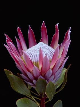 A Tropical Flower by Paul Chesley