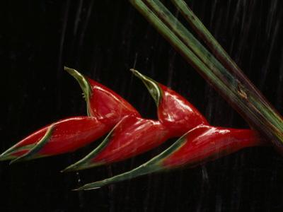 Close View of a Heliconia Flower by Paul Chesley