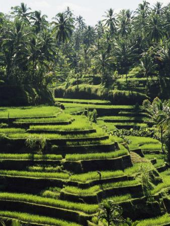 Terraced Rice Fields on Bali Island, Indonesia by Paul Chesley