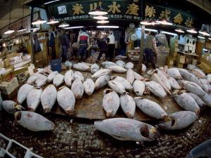 Tuna Caught in the Indian Ocean Await Buyers at Tsukiji Fish Market by Paul Chesley