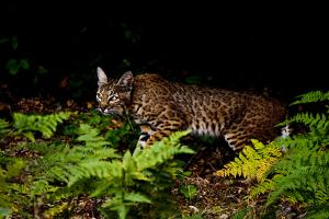 A Bobcat, Lynx Rufus, Walks Among Ferns by Paul Colangelo