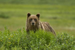 A Grizzly Bear, Ursus Arctos, Stands in the Area of the Sacred Headwaters by Paul Colangelo