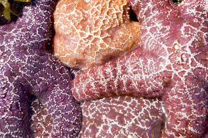 A Group of Purple Sea Stars, Asterias Ochracea by Paul Colangelo