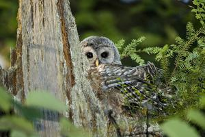 A Juvenile Barred Owl, Strix Varia, Rests on Top of a Dead Tree by Paul Colangelo
