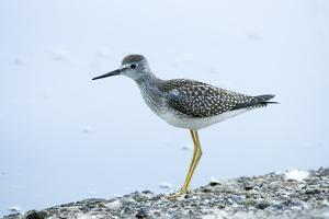 A Lesser Yellowlegs, Tringa Flavipes by Paul Colangelo