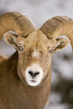 A Male Bighorn Sheep, Ovis Canadensis, in the Rocky Mountains by Paul Colangelo