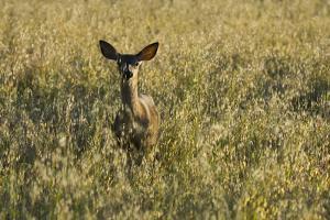 A Mule Deer, Odocoileus Hemionus, Stands in a Grass Field by Paul Colangelo
