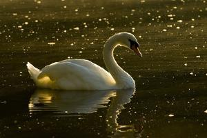 A Mute Swan, Cygnus Olor, Floats on a Lake Among Feathers by Paul Colangelo