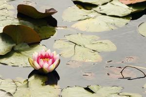 A Pink Water Lily Flower Blooms Among Lily Pads by Paul Colangelo