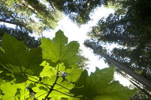 A Vine Maple, Acer Circinatum, and the Forest Canopy by Paul Colangelo