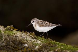 A Western Sandpiper, Calidris Mauri by Paul Colangelo