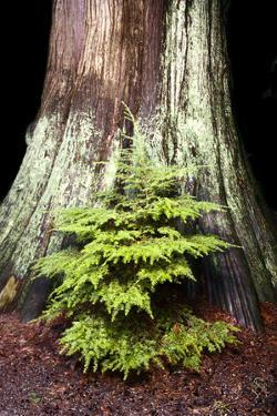 A Young Western Hemlock, Tsuga Heterophylla, Grows in Front of a Western Red Cedar, Thuja Plicata by Paul Colangelo