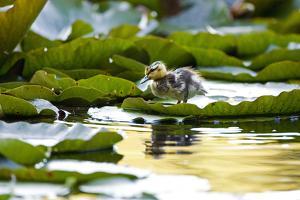 Mallard Ducklings, Anas Platyrhynchos, Walk across Lily Pads by Paul Colangelo