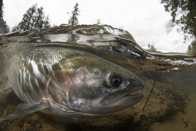 Steelhead Trout, Oncorhynchus Mykiss, in the North Umpqua River by Paul Colangelo