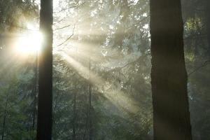 Sun Bursts in a Misty Pacific Temperate Rainforest by Paul Colangelo