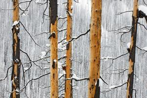 Tree Burned by a Forest Fire by Paul Colangelo