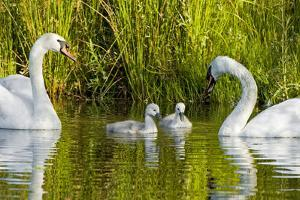Two Mute Swans, Cygnus Olor, Look over their Two Cygnets by Paul Colangelo