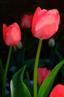 A Close Up of Red Tulips at the Chicago Botanic Garden in Chicago, Illinois by Paul Damien