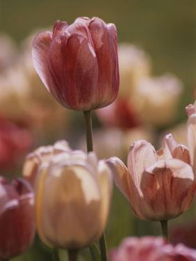 A Close View of Tulips Growing in Whitnall Park, Milwaukee by Paul Damien