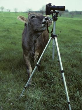 A Curious Brown Swiss Cow Investigates a Camera on a Tripod by Paul Damien
