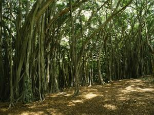 A Grove of Banyan Trees Send Airborn Roots Down to the Forest Floor by Paul Damien