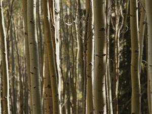 A Large Grouping of Birch Trees by Paul Damien