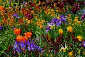 A Riot of Colorful Tulips, Irises and Other Flowers in Monet's Garden in Giverny by Paul Damien