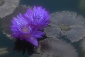 A Violet Water Lily Flower Against Gray-Green Lily Pads and Water by Paul Damien