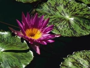 A Water Lily Blossom and Pads on a Chicago Botanic Garden Pool by Paul Damien