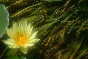 A Yellow Water Lily Flower Next to a Green Lily Pad and Grasses by Paul Damien