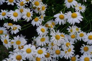Close-Up of Daisies Blooming in Spring by Paul Damien