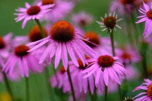 Close-Up of Pink Cone Flowers by Paul Damien