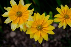 Close-Up of Yellow Cone Flowers by Paul Damien