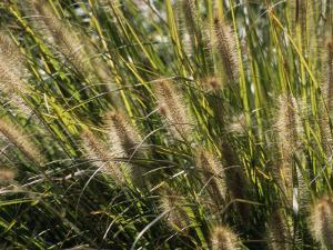 Close View of Grasses Growing in the Chicago Botanic Garden by Paul Damien
