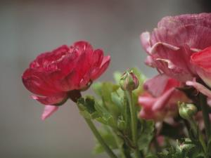 Close View of Ranunculus Blossoms in the Chicago Botanic Garden by Paul Damien