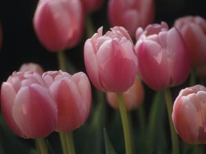 Close View of Tulips Blooming in the Chicago Botanic Garden by Paul Damien